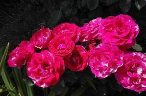 mes jolis rosiers,et pour ne rien gacher ils sentent tres bon
