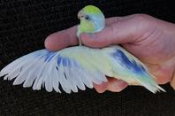 Forpus mutations américain turquoise ( turquoise dilué ) jeune 2016