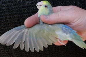 Forpus mutation fallow turquoise