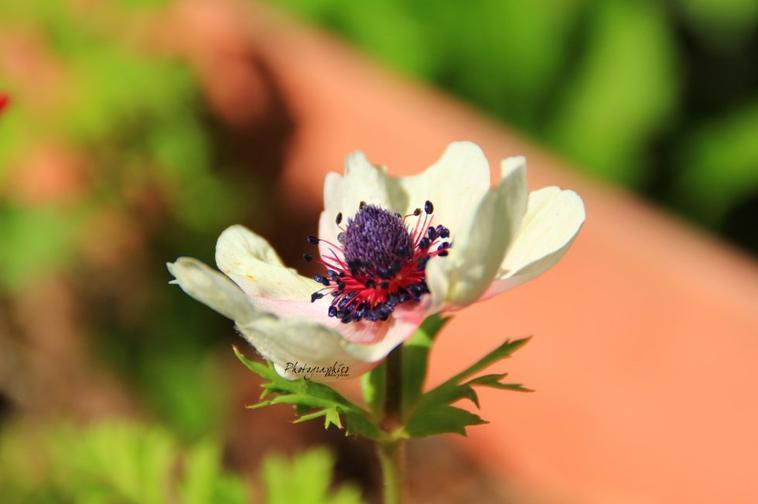 Anémone blanc