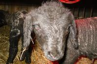 dernier agnelage