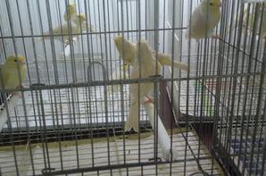 filhotes Isabel pastel amarelo mosaico