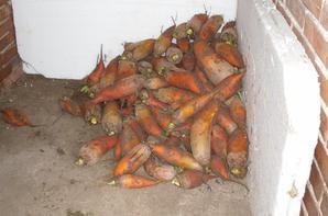 La récolte de betraves
