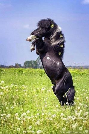 chevaux qui cabre