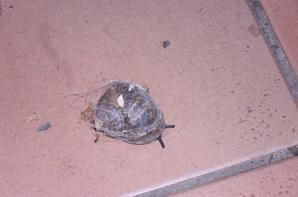 escargot d'halloween (trouvé ce matin sur ma terrasse)