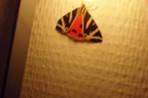 comment se nomme ce papillon qui est venu nous dire bonsoir hier?