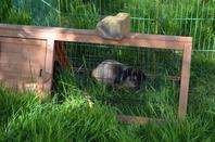 Les lapinous nains et un gros lapin