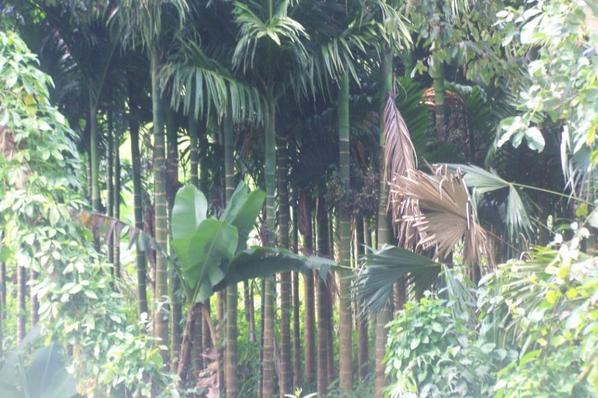 Palmiers Areca Catechu