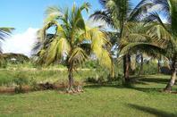 Cocotiers Sambava Ar 10.000