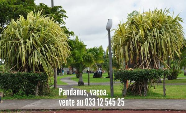 Pandanus vacoa