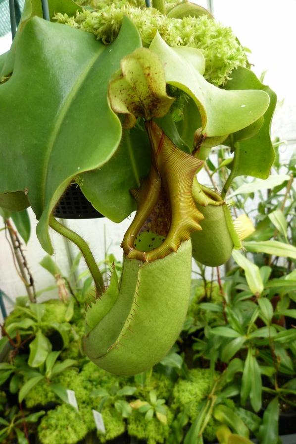 nepenthes truncata x veitchii