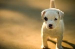 les petits chiens