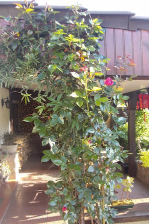 ROSIER GRAND HUIT UN MAGNIFIQUE PARFUM ET TRES BELLE CLEMATITE MAUVE