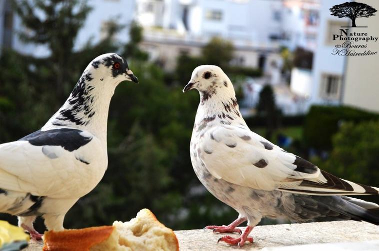 Pigeon & Canard vert