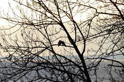 Pigeons ramiers