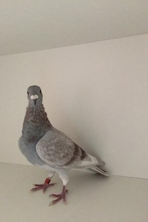Deux cracks pigeons issus 100% LIMBOURG ERIK