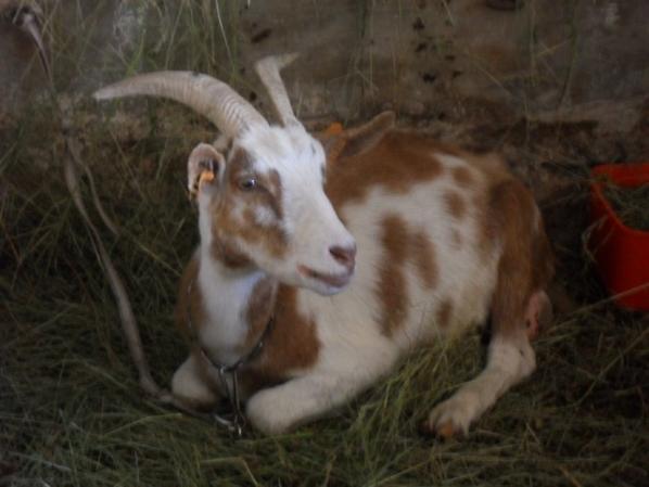 chèvres laitière