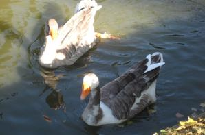 les canards de  saint-nazaire