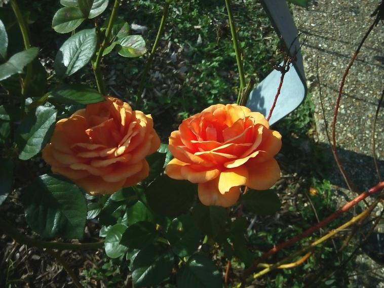 Photos,  Fleurs Roses jaune / oranger ... A la Roseraie de Rouen . ( Jolie comme endroit ) .