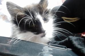 """""""delice"""" petite chatte trouve il y a 2jours sur la route, elle a environ 2mois tout juste"""