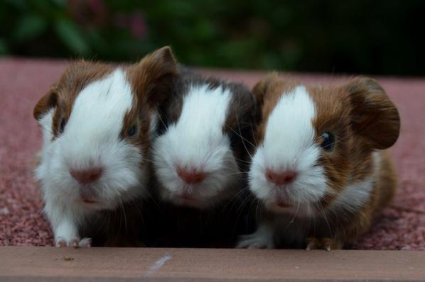 Baby Meerschweine 3 Mädels & 2 Jungs
