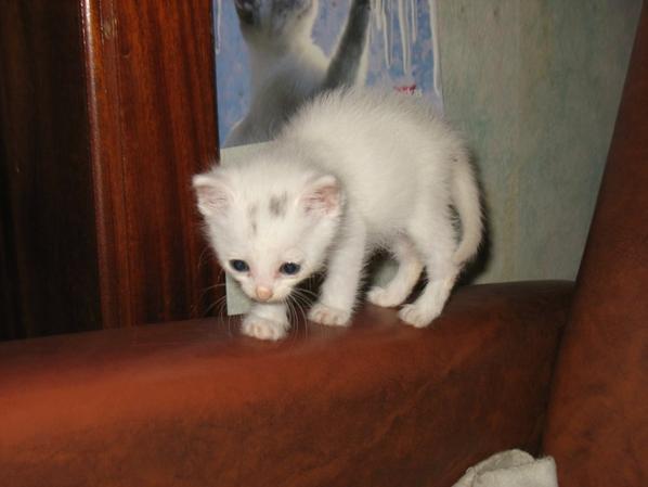 Chat blanc mimou
