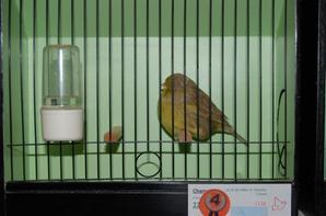 Quelques oiseaux au One Day Gloster Show de Liège (Ans) 2015