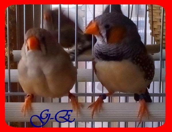 mandarin gris