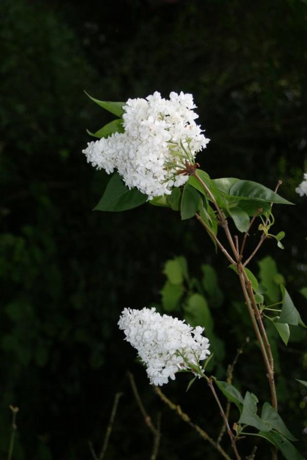 Fleurs blanches {Photos personnelles}