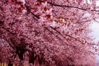 Sakura (fleurs de cerisier)