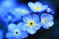 Pavot bleu de l'Hilamaya