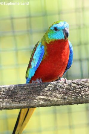turquoisine mâle type sauvage poitrine et ventre rouge