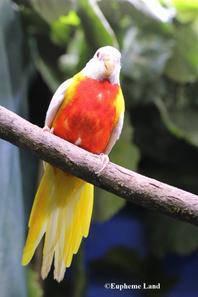 Splendide mâle lutino sélection ventre rouge