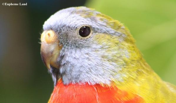 Splendide pallid-ino sélection ventre rouge