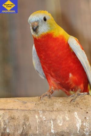 turquoisine mâle dilué gris