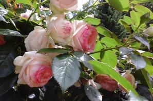 Ma plus belle rose