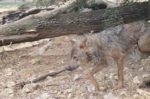 Quelques loups (1/2)