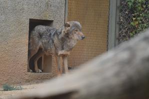 Quelques loups (2/2)