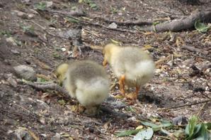 Des oies qui protègent leurs oisons