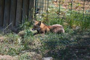 Un renard qui se repose