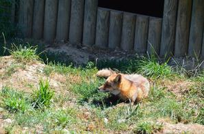Le repos d'un renard