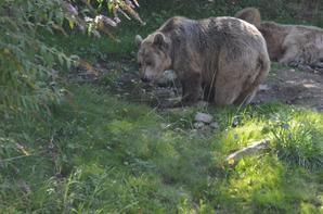 Un ours brun qui fait une petite balade