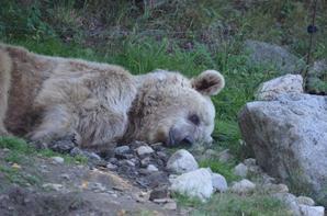 Un ours qui arrive vers moi