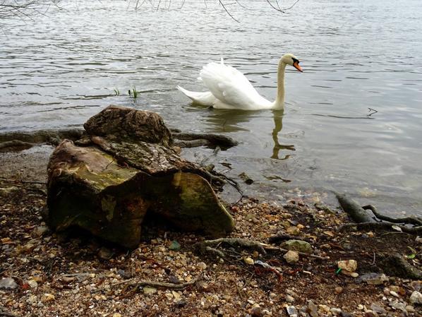 Deux cygnes qui nettoient leurs plumage (3/4)