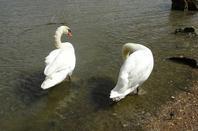 Deux cygnes qui nettoient leurs plumage