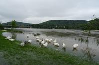 Des oies qui mangent de l'herbes malgré les inondations