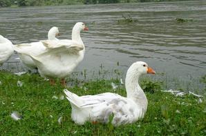 Des oies qui se nettoie malgré que le Seine déborde