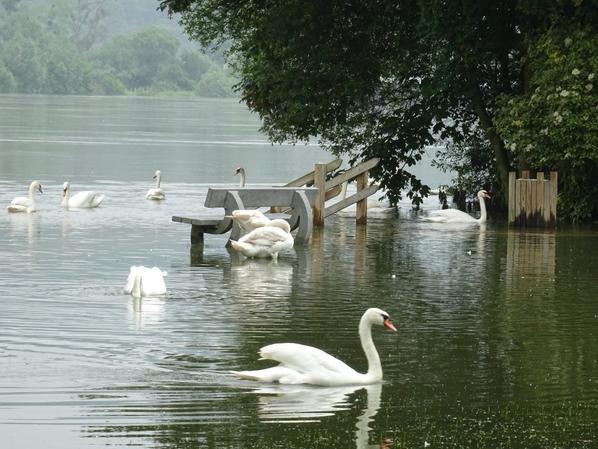 L'inondation arrange bien les cygnes