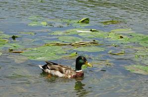 Des canards en ce débat juillet 2016