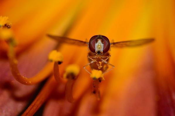 Une syrphe qui mange du nectar